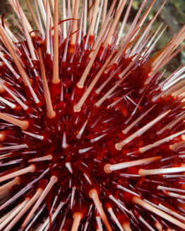 red-sea-urchin-bc-products